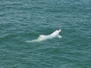 Adult Chinese white dolphin