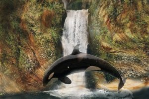 The Orca Whale Often Leaps Clear Out of water