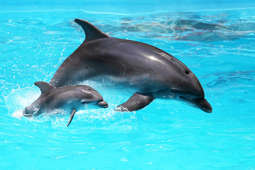 Mother Dolphin And A Calf: Dolphin Intelligence