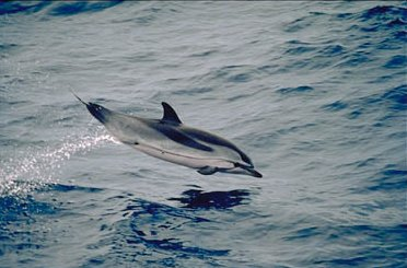 Striped Dolphin Leaping Out Of Water