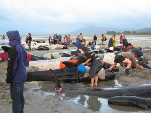 Volunteers Caring For Stranded Pilot Whales